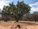 Plezalke po arganovih drevesih  obvladajo....